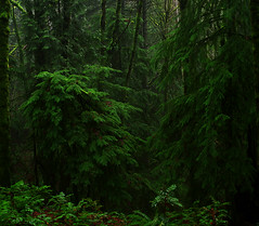 a convocation (Zeb Andrews) Tags: trees green film nature wet oregon forest dark portland landscape outdoors woods hiking deep fujireala lush forestpark wildwoodtrail pentax6x7 bluemooncamera pfemerald primevalforestgroups