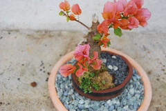 Bougainvillea Bonsai (Xtolord) Tags: bougainvillea bonsai xtolord