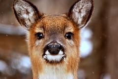 [フリー画像] [動物写真] [哺乳類] [鹿/シカ]        [フリー素材]