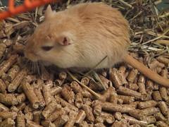 Cheyenne (BulletGirl) Tags: gerbil rodent cheyenne