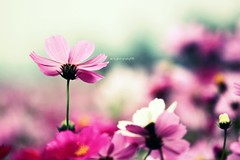。°✲ *●﹒ Pink。✲ ‧*.○   (sⓘndy°) Tags: flower color nature canon taiwan explore frontpage 2010 sindy
