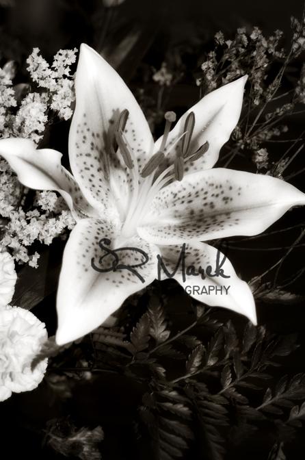 Star Gazer lily Monochromatic