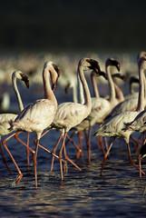 Pink Floyds - Nakuru Lake NP - Kenya (Lucie et Philippe) Tags: voyage africa travel pink roses lake bird rose nationalpark kenya flamingo lac flamingos pinkfloyd safari floyd nakuru oiseaux flamandrose afrique riftvalley flamant flamants