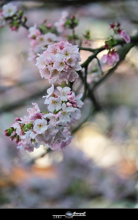 Sakura sunny 05