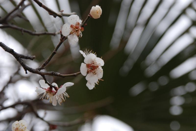sakura-palm