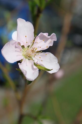 peach tree blossom care