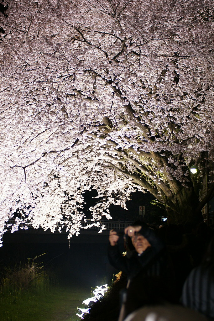 2010野川桜ライトアップ 6