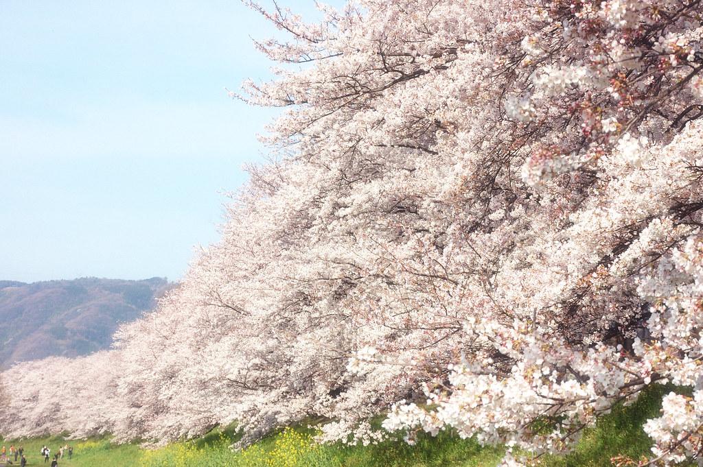 Sakura 2010 #16
