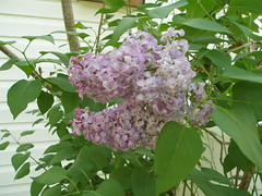 016 Lilacs blooming