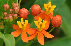 (gincoco) Tags: orange flower butterflyweed