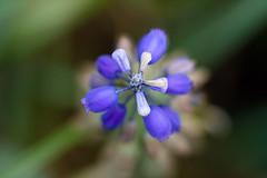 Muscari 3 (zoomclic) Tags: blue flower macro green nature closeup canon spring bokeh allrightsreserved xsi muscari 500d bokehlicious bokehwhores zoomclicphotography