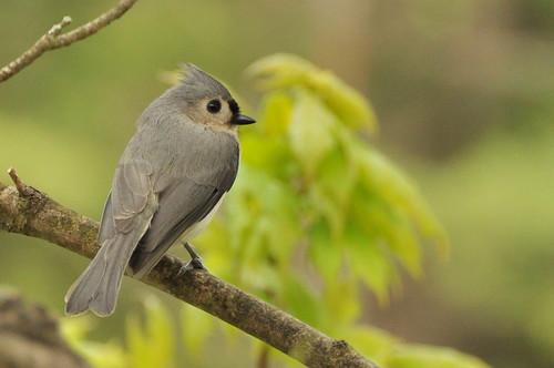 [フリー画像] 動物, 鳥類, シジュウカラ科, エボシガラ, 201005110300