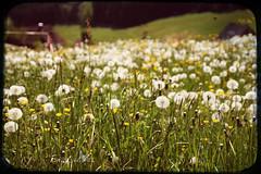 ~ countryside bokeh ~ (Nordljus*) Tags: holiday buttercup bokeh dandelion schwarzwald blackforest ferien löwenzahn pusteblume fauxvintage butterblume blumenwiese 2011 stroman sigma1770mm canoneos550d