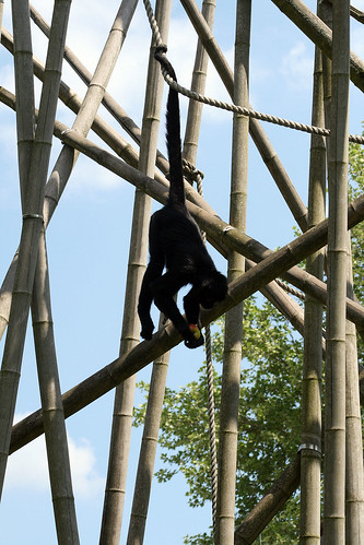 Fressender Siamang Gibbon