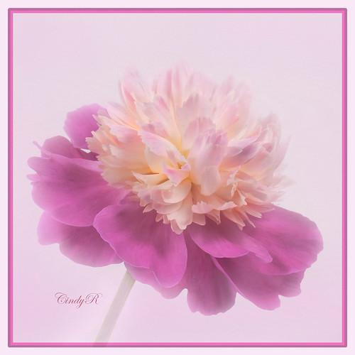 Purr-fect Pink Peony