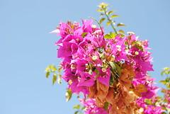 Bougainvillea (Owen_ Price) Tags: pink flowers bougainvillea