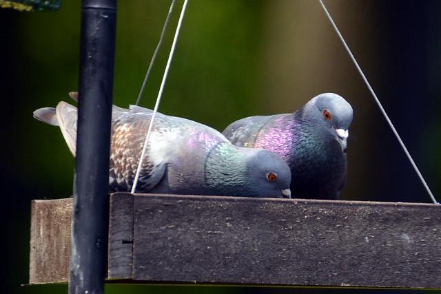 feeder pigeons 5