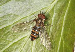 Marmalade Hoverfly - Episyrphus balteatus (Prank F) Tags: dogkennelspinney pocketpark kettering northantsuk wildlife nature insect macro closeup fly hoverfly marmalade episyrphusbalteatus