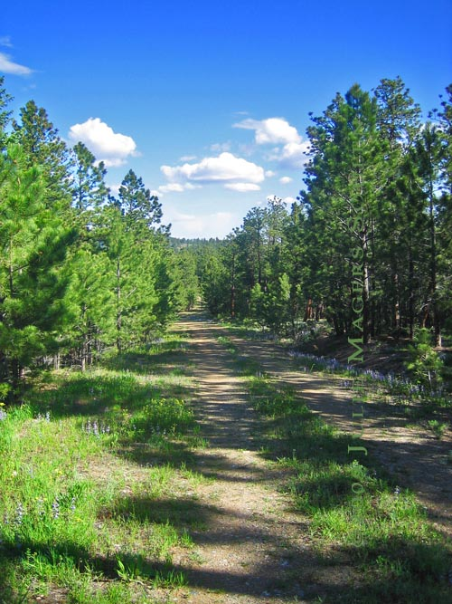 remote pine tree lined dirt road in northern Colorado