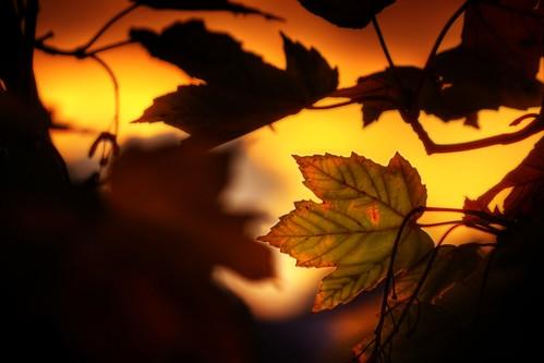 フリー画像| 植物| 葉っぱ| 夕日/夕焼け/夕暮れ| HDR画像| 橙色/オレンジ|      フリー素材|
