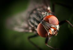 8o8 (Jovacho) Tags: macro insect fly spain nikon carlos catalonia 28 nikkor mosca vr insecte insecto macrophotography 105mm macrofotografia d90 galn jovacho
