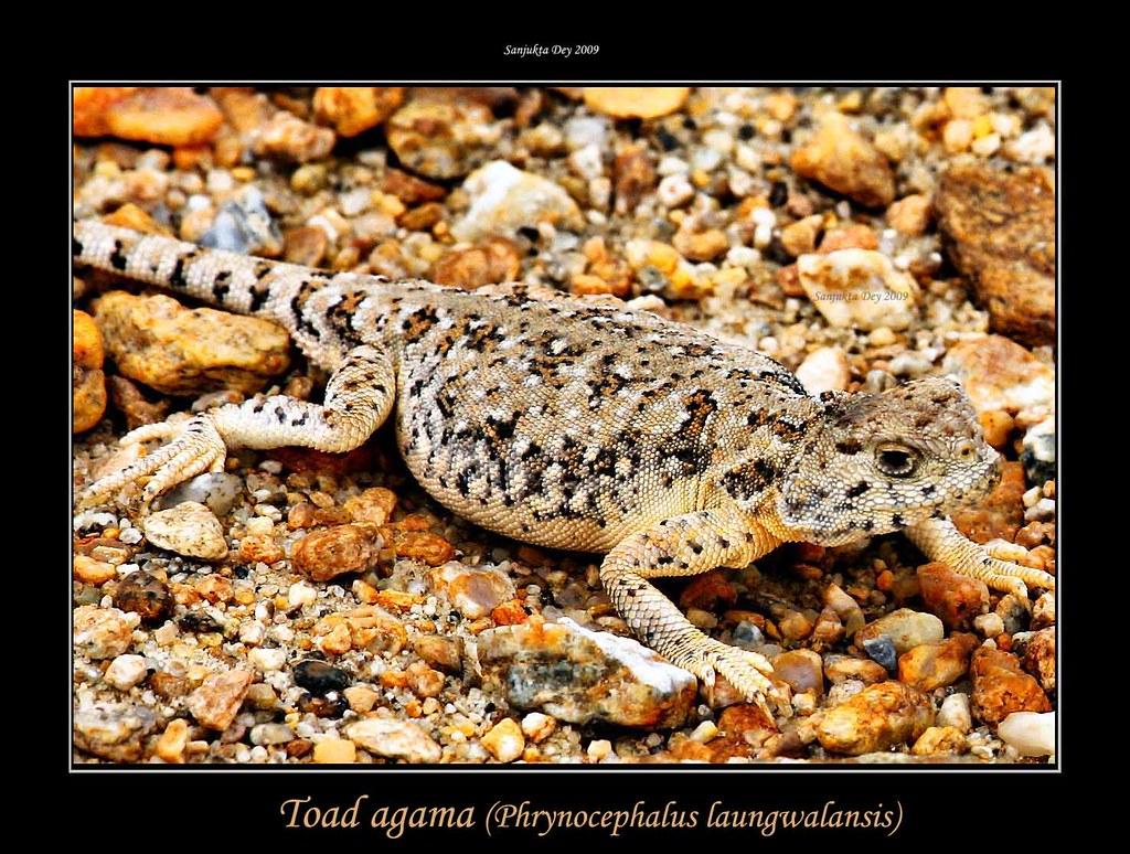 Toad agama (Phrynocephalus laungwalansis), Chanthang Plateau, Ladakh, Jammu & Kashmir, India - 26.08.09