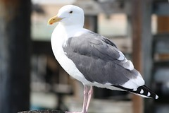 Did You Get Your Shot? (prayerfriends) Tags: california wood white black eye nature closeup standing monterey legs bokeh seagull gray beak feathers posts picnik tailfeathers fullbody montereybaywharf