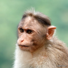 Monkey.. (K. Shreesh) Tags: portrait india animals monkey satara kaas 400d mywinners anawesomeshot ef70200f4lis flickrdiamond