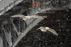 Flight of the 'Snowbirds'! (p.csizmadia) Tags: bridge winter ohio snow snowflakes flying december dof seagull gull gulls flight blackriver oh flakes lorain csizmadia charlesberrybridge goldstaraward pcsizmadia
