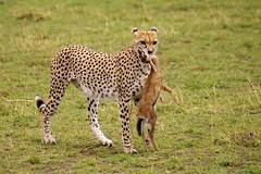 Cheetah with Baby Thomson Gazelle (GreenDreamsPhotography) Tags: kill wildlife safari bigcat cheetah predator kenia cheeta masaimara maasaimara thomsongazelle jacht roofdier katachtige jachtluipaard flickrbigcats