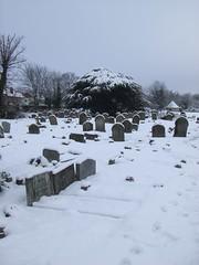 Cedar in cemetery