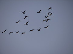 IMG_3964 (rabbit-rose) Tags: ducks migration snowgeese sacramentowildliferefuge