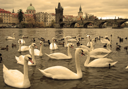 Swans on the Vltava, Prague