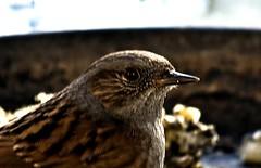 hedge sparrow / heggemus (friedkampes) Tags: winter bird d50 garden dunnock prunellamodularis hedgesparrow heggemus heckenbraunelle accenteurmouchet friedkampes
