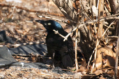 grackle seated