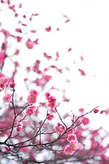 Tradition (*Sakura*) Tags: pink winter red flower nature japan tokyo purple plum sakura  earlyspring