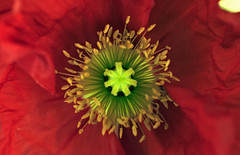 glowing poppy (ncracker (Boyan Syarov)) Tags: red green rot start canon rouge rebel xt 50mm petals awesome blossoms silk sigma poppy glowing  satin stern  toile pavot mohn   amapola     bituin      fantasticflower