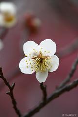Plum blossom (Dalang55555) Tags: flower plumblossom