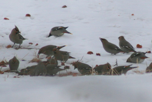 Bohemian Waxwings feeding on fallen apples