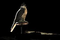 Glow (sahoodvich) Tags: life wild bird animal sport canon fly glow hunting flight arab falcon kuwait ibrahim  khaled  q8           barlin         gyer             sahoodi   alsahood sahoodvich   alhawedi
