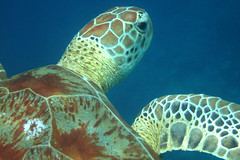 Groene zeeschildpad (ArthurPijpers) Tags: borneo maleisi