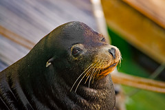 Wassup...buddy! (Kartik J) Tags: california sea cute animal mammal funny whiskers pinnipeds morrobay sealion wink sonycamera californiacentralcoast pinniped cuteanimal a500 sonydigitalslr sonyalphadslr cuteseal sal70300 sal70300g sal70300gssm sonya500 sonydslra500 sonyalphadslra500 animalwinking