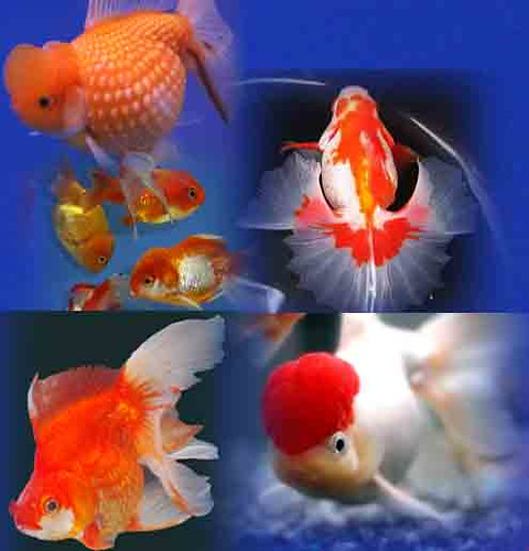 Aneka Jenis Ikan Mas Koki