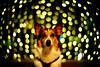 10000th pose (moaan) Tags: leica light dog 50mm corgi dof bokeh illuminations f10 utata noctilux welshcorgi starry starlet leicam7 2010 m7 fujivelvia100 rvp100 pochiko leicanoctilux50mmf10 gettyimagesjapanq1 gettyimagesjapanq2