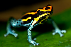 Poison Dart Frog Sitting on a Leaf (Credit: Flickr/MoleSon)
