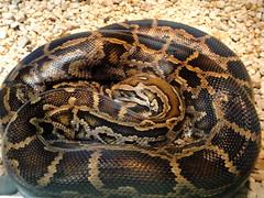 Columbus Zoo - Burmese Python (fkalltheway) Tags: columbuszoo ohio snake springbreak python shores zootrip burmesepython powellohio fkalltheway reptilesbuilding