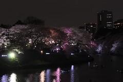 いろんな色の桜