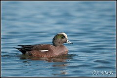 American Wigeon (OlaNowak) Tags: ontario canada bird nature birds animal fauna burlington duck nikon wildlife hamilton ducks sigma american americana lasalle waterfowl anas widgeon americanwigeon hfg wigeon d300 hamiltonharbour anasamericana kaczka baldpate americanwidgeon sigmalens kaczki hamiltonbay amerykanski lasallepark nikond300 swistun swistunamerykanski