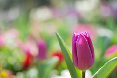 Hurray! tulip