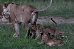 Masi Mara: lion & playful cubs (mothclark62) Tags: africa kenya african wildlife lion pride mara lioness lioncub masaimara kenyan eastafrica eastafrican lionpride prideoflions
